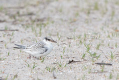 Least tern chick Royalty Free Stock Photos