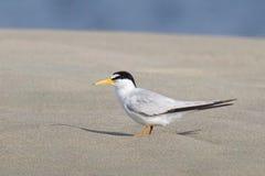 Least Tern Stock Image