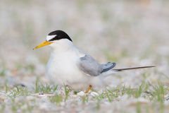 Least Tern female on nest Royalty Free Stock Images