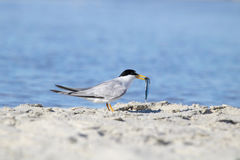 Least Tern with a Fish. An endangered least tern Sterna antillarum, catching sand eels Stock Images