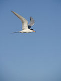 Least tern flying. A Least Tern (Sternula antillarum) flying.  Taken near Galveston, Texas Royalty Free Stock Image