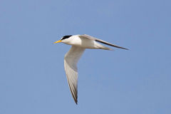 Least Tern Flying By. An endangered least tern Sternula antillarum flying against a blue sky Royalty Free Stock Photography