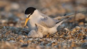 Least Tern. A Least Tern with a chick in New Jersey Stock Photography