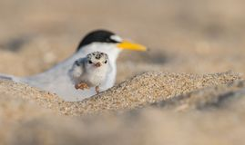 Least Tern. A Least Tern with a chick in New Jersey Stock Photo