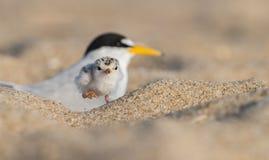 Least Tern Stock Photo