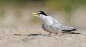 Least Tern. In New Jersey Royalty Free Stock Images