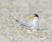 Least tern mother on nest Royalty Free Stock Photography