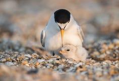Least Tern Stock Photos