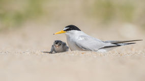 Least Tern. A Least Tern in New Jersey Royalty Free Stock Photos