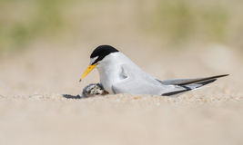Least Tern. A Least Tern in New Jersey Royalty Free Stock Image