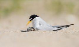 Least Tern Royalty Free Stock Image