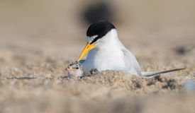 Least Tern with Chick. A least tern in New Jersey Royalty Free Stock Image