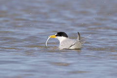 Least Tern with a Sand Eel Stock Photo