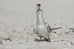 A least tern with a small bait fish in its beak. stock images