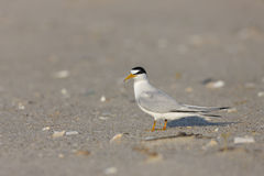 Least Tern (Sternula antillarum antillarum) Royalty Free Stock Photo