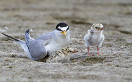 The least tern (Sternula antillarum) in the nest with chicks. Stock Photos