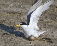The least tern (Sternula antillarum) in the nest. Royalty Free Stock Photo