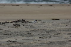 Least Tern (Sternula antillarum) Stock Photos