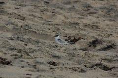 Least Tern (Sternula antillarum) Royalty Free Stock Photos