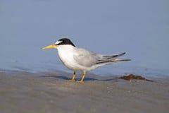 Least Tern in Summer. An endangered least tern Sternula antillarum standing on a beach Stock Photo
