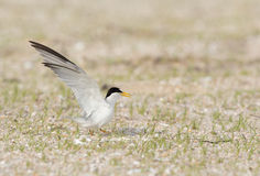 Least tern wings up. Stock Image