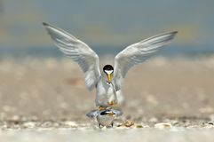 Least terns in a courtship and mating ritual. royalty free stock image