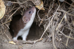 Least weasel in the burrow Royalty Free Stock Images