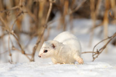 Least Weasel move in the bushes. Least Weasel (Mustela nivalis) move in the bushes Royalty Free Stock Photo