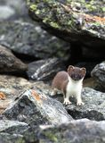 Least weasel (Mustela nivalis) Royalty Free Stock Images