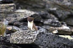 Least weasel (Mustela nivalis). (Mustela nivalis Royalty Free Stock Photos