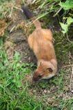 Least Weasel Mustela nivalis Royalty Free Stock Images