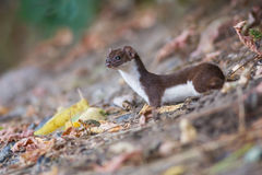 Least weasel Stock Photography