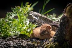 Least Weasel Mustela nivalis Royalty Free Stock Photos