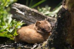 Least Weasel Mustela nivalis Royalty Free Stock Photography