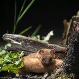 Least Weasel Mustela nivalis Stock Photography