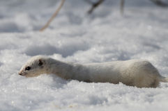 Least Weasel in snow against the sun Royalty Free Stock Photos