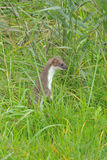 Least weasel standing Royalty Free Stock Photos