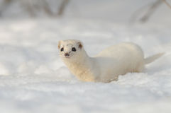 Least Weasel in winter field Stock Images