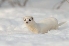 Least Weasel in winter field. Least Weasel (Mustela nivalis) in winter field. Moscow region, Russia Stock Images