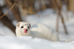 Least Weasel in winter forest Stock Photography