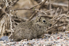 Leaster cavy under a bush Royalty Free Stock Photography