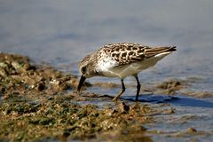 Least Sandpiper Eating Stock Image