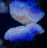 Leather coral. A detail of an leather coral underwater in the sea Royalty Free Stock Photography