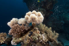 Leather coral and glassfish in the Red Sea. Stock Photo
