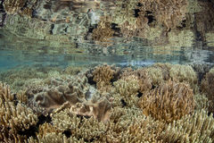 Leather Corals in Shallow Water. A vibrant coral reef grows in shallow water in Raja Ampat, Indonesia. This pretty area is known for its high marine biodiversity Stock Photography