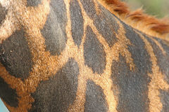Leather giraffe Stock Images