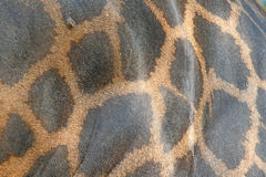 Leather giraffe. Close up Leather giraffe skin Royalty Free Stock Photo