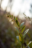 Leather-leaf. Flowers beginning to bloom in late April in a northern Minnesota bog Stock Images