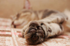 Leather pads on furry cat paw. Striped cat sleeping on sofa Royalty Free Stock Images