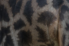 Leather skin of giraffe, genuine skin leather Stock Image